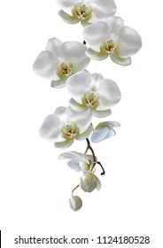 Moon orchids flowers hang down in branch isolated on white background. Vector illustration of realistic white orchids flowers hang from top to bottom.