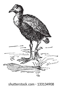 Moorhen or Gallinula sp., vintage engraved illustration. Dictionary of Words and Things - Larive and Fleury - 1895