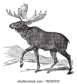 Moose or Eurasian Elk or Alces alces, vintage engraving. Old engraved illustration of a Moose. Trousset Encyclopedia