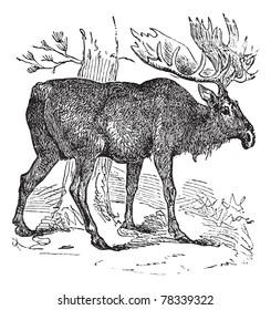 Moose or Eurasian Elk or Alces alces, vintage engraving. Old engraved illustration of a Moose. Trousset Encyclopedia