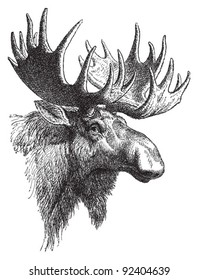 Moose or Eurasian elk (Alces alces) / vintage illustration from Meyers Konversations-Lexikon 1897
