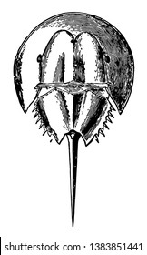It is more closely related to spiders, ticks, and scorpions than to crabs. Horseshoe crabs are most commonly found in the Gulf of Mexico and along the northern Atlantic coast of North America