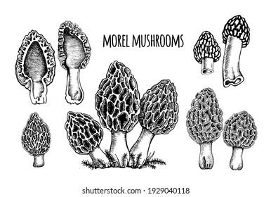 Morel mushrooms Vector illustration hand drawn, family of edible mushrooms, cut mushroom, spongy morel, healthy organic food, vegetarian food, fresh mushrooms isolated on white background