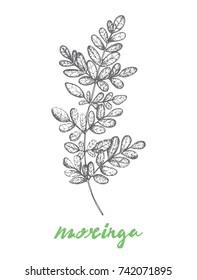Moringa oleifera Popular super food