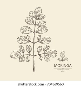 Moringa: plant  and leaves of moringa. Super food. Vector hand drawn illustration.