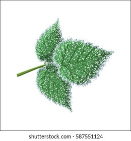 Morning frost deposition, soft rime on raspberry leaves isolated on white background. Cartoon vector illustration in flat style.