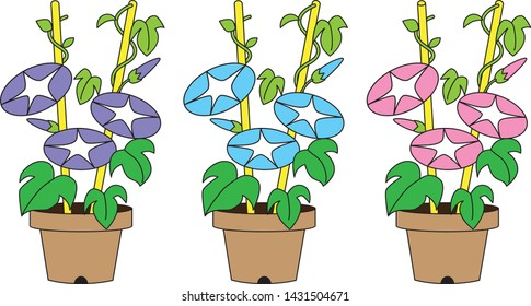 Morning glories, summer flowers planted in pots