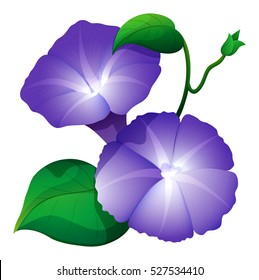 Morning glory flower in purple color illustration