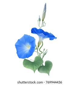 Morning Glory Heavenly Blue. Flowers, buds and twisted vines.  Hand drawn vector illustration on transparent background.