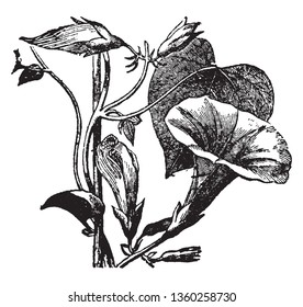 It is a Morning Glory plant which is has communal name in 1000 species of flowering plants, vintage line drawing or engraving illustration.