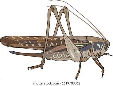 Moroccan locust (Dociostaurus maroccanus). Vector.