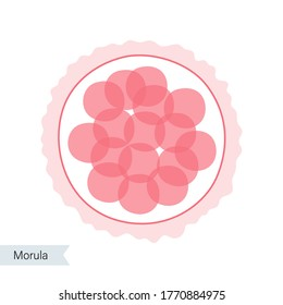 Morula cell icon. Embryo development stage. Pregnancy, insemination and fertalization concept. Human sexual reproductive system. Flat vector illustration. Medical poster for clinic, lab or education.