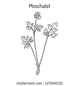Moschatel, five-faced bishop, hollowroot, muskroot, townhall clock, tuberous, crowfoot (Adoxa moschatellina), medicinal plant. Hand drawn botanical vector illustration