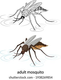 Mosquito in colour and doodle on white background illustration