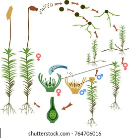 Moss life cycle. Diagram of a life cycle of a Common haircap moss (Polytrichum commune)