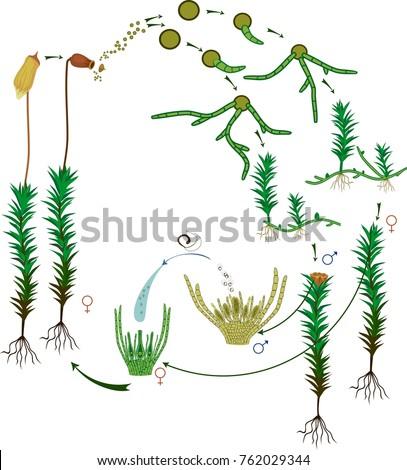 Moss Life Cycle Diagram Life Cycle Stock Vector Royalty Free