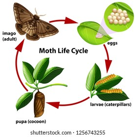 Moth life cycle diagram illustration