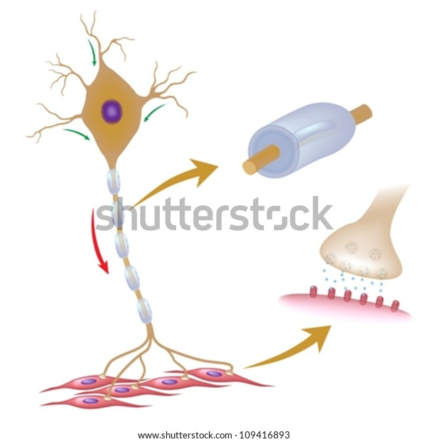 Motor Neuron Details Myelin Synapse Stock Vector (Royalty Free
