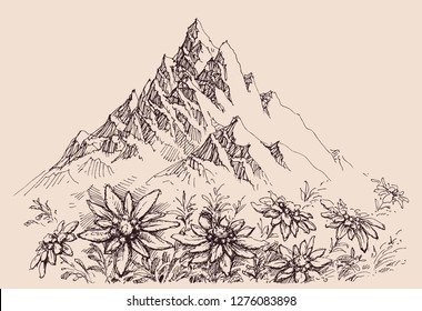 Mountain range and edelweiss flowers