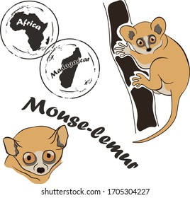Mouse lemur vector image isolated on white background. Mouse-lemur in full growth and head. Unique fauna of Madagascar. Dwarf lemur realistic color design. The smallest lemur sits on branch.