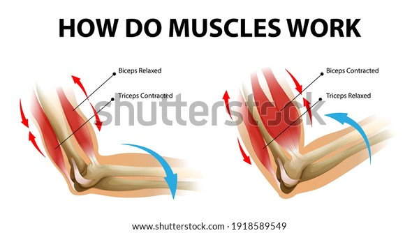 Movement process of the arm muscle (Biceps and Triceps) illustration