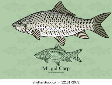 Mrigal Carp, White Carp. Vector illustration with refined details and optimized stroke that allows the image to be used in small sizes (in packaging design, decoration, educational graphics, etc.)