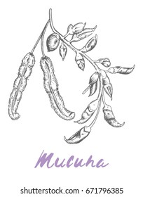 Mucuna Pruriens Popular superfood natural dopamine