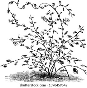 It is Muehlenbeckia Complexa plant which is also called as maidenhair vine. It is a decorative plant, vintage line drawing or engraving illustration.