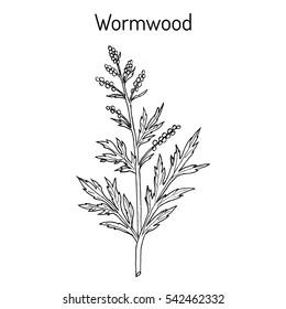 Mugwort, or common wormwood (Artemisia vulgaris), medicinal plant. Hand drawn botanical vector illustration