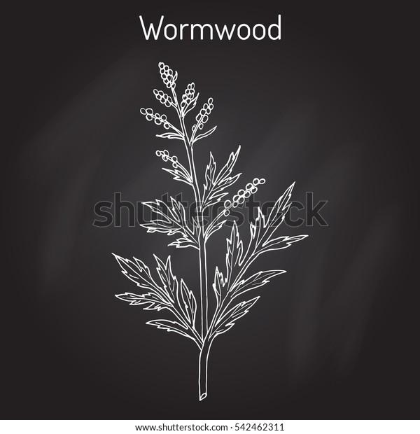 Mugwort Common Wormwood Artemisia Vulgaris Medicinal Stock