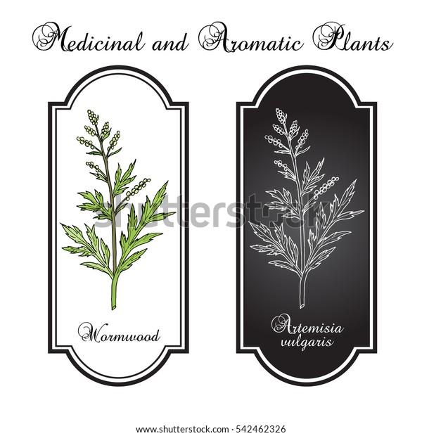 Mugwort Common Wormwood Artemisia Vulgaris Medicinal