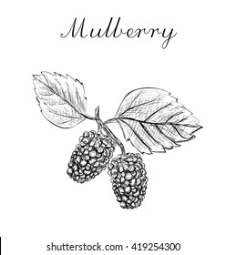 Mulberry. Mulberry sketch vector illustration. Mulberry. Mulberry. Mulberry. Mulberry.