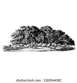 Mulberry Tree Vintage Illustrations