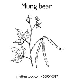 Mung bean (Vigna radiata) with leaves and pods. Hand drawn botanical vector illustration.