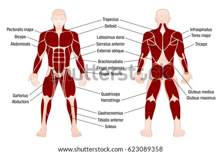 Muscle Chart Accurate Description Most Important Stock Vector