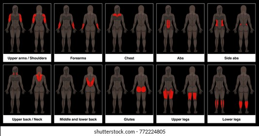 Muscle chart - female body, frontal and back view with highlighted red muscle parts - isolated vector illustration on black background.