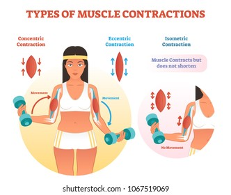 Muscle contractions scheme with arm cross section and fitness weight lifting exercise movement. Concentric, eccentric and isometric contraction types diagram.
