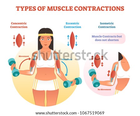 Muscle Contractions Scheme Arm Cross Section Stock Vector Royalty