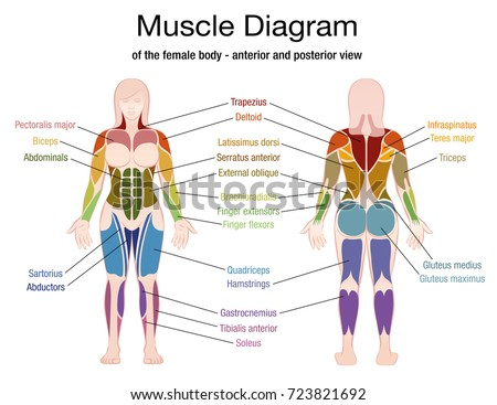 Muscle diagram female body accurate description stock vector muscle diagram female body accurate description stock vector royalty free 723821692 shutterstock ccuart Images