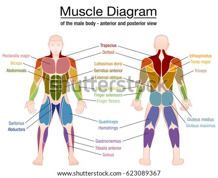 Muscle Diagram Most Important Muscles Athletic Stock-Vektorgrafik ...