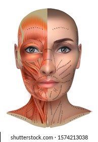 Muscles anatomy of the female face and neck