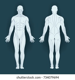 Muscles in the body, vector illustration. Posterior and anterior view - full body.