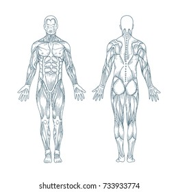 Muscles in the body, vector. Posterior and anterior view - full body. Hand drawn illustration.