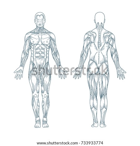 Muscles Body Vector Posterior Anterior View Stock Vector (Royalty ...