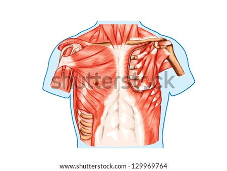 Muscles Chest Thorax Brisket Breast Bust Stock Vector (Royalty Free ...