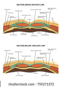 Muscles ( cross section ) of the anterior abdominal wall