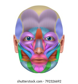 Muscles of the face structure, each muscle pair illustrated a bright color, detailed anatomy isolated on a white background