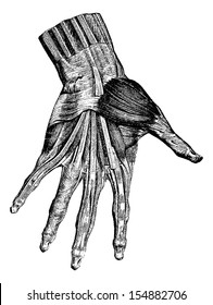 Muscles of the hand (superficial layer), vintage engraved illustration. Usual Medicine Dictionary - Paul Labarthe - 1885.