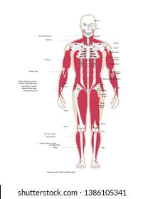 muscles human body anterior view