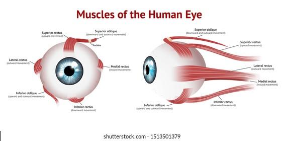Muscles of Human eye, Eye muscle anatomy, Blue eye, Vector Illustration on white background.